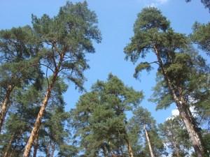 Сосновый бор в районе Рублево-Успенского шоссе. Быть может, вы мечтаете жить именно здесь? Деревянный домик отлично впишется в ландшафт окружающей среды.