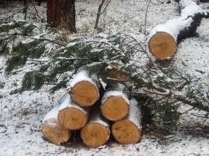 Сосна зимней рубки