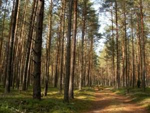 Экологически чистый лес, из которого производится брус для бытовок
