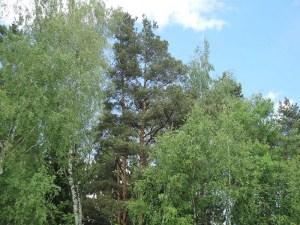 Множество разнообразных пород деревьев, сосновые боры, березовые рощи и смешанные леса - вот, что будет окружать ваш деревянный домик
